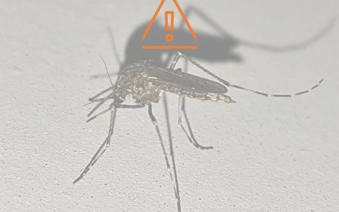 Mosquitos para combatir el dengue.